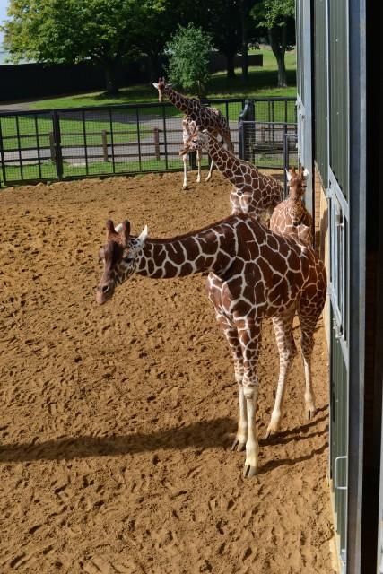 Giraffes at whispered