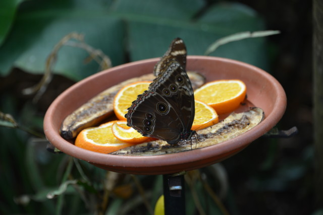 Butterfly and oranges