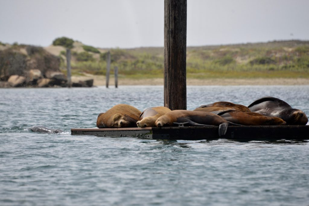 Seals Morro Bay