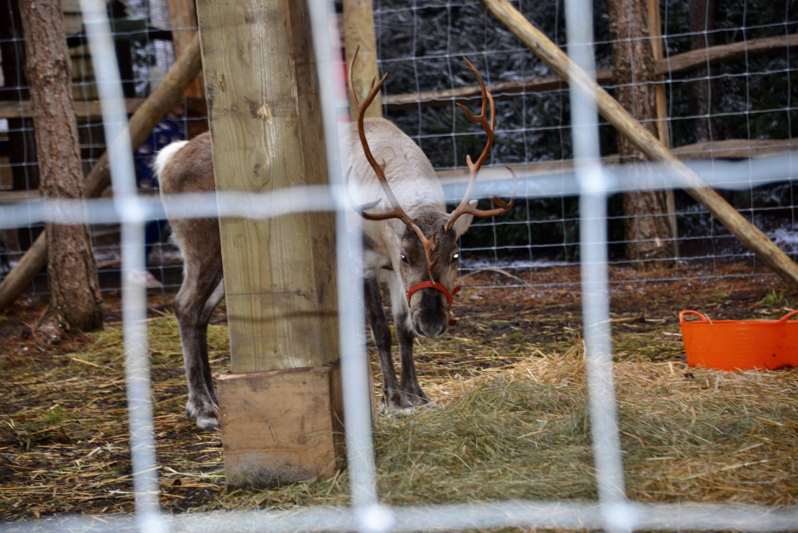 Lapland Uk Reindeers